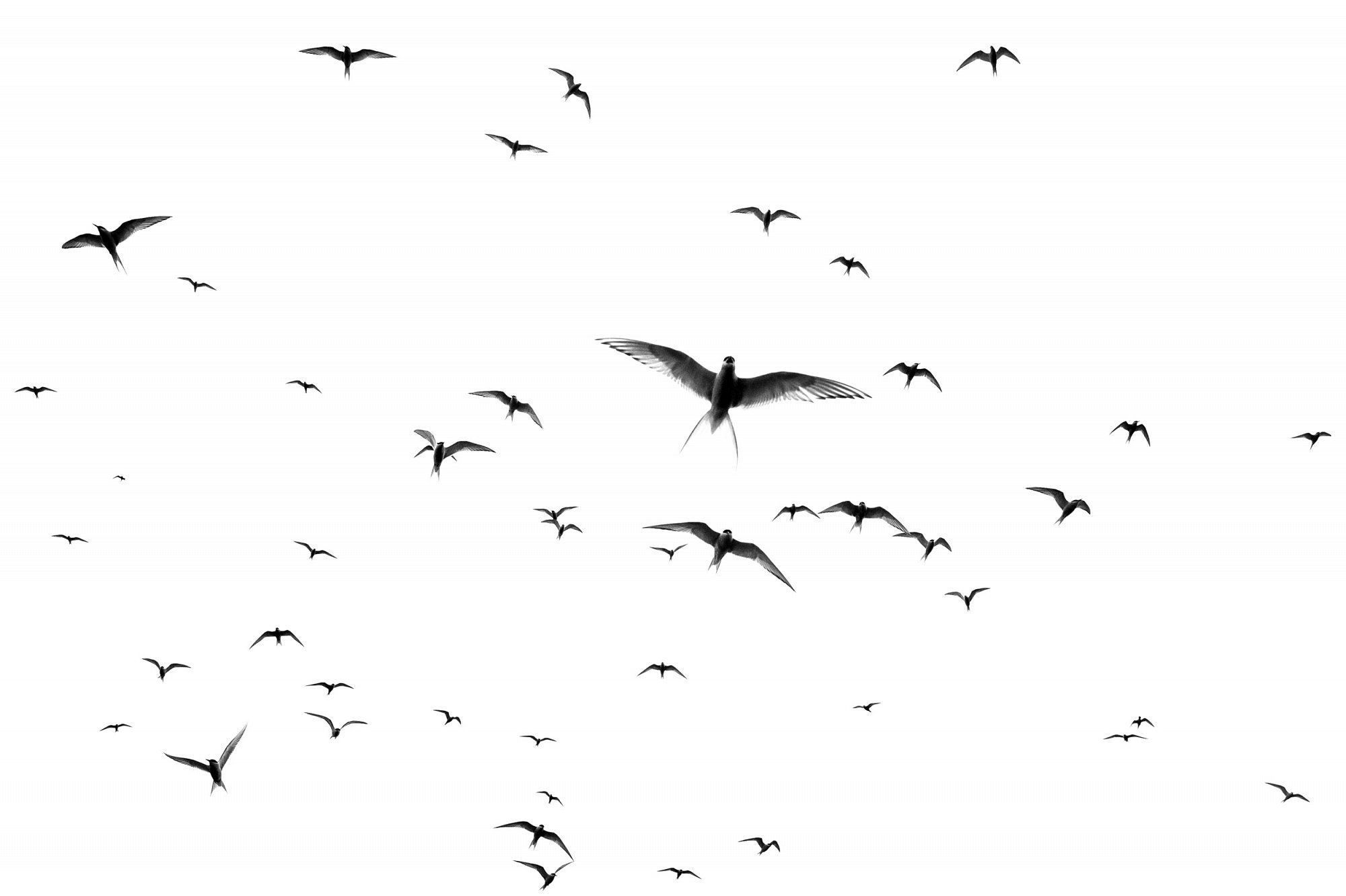 Artic terns flying against the cloudy sky in Iceland. Private project.
